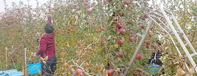 リンゴを収穫